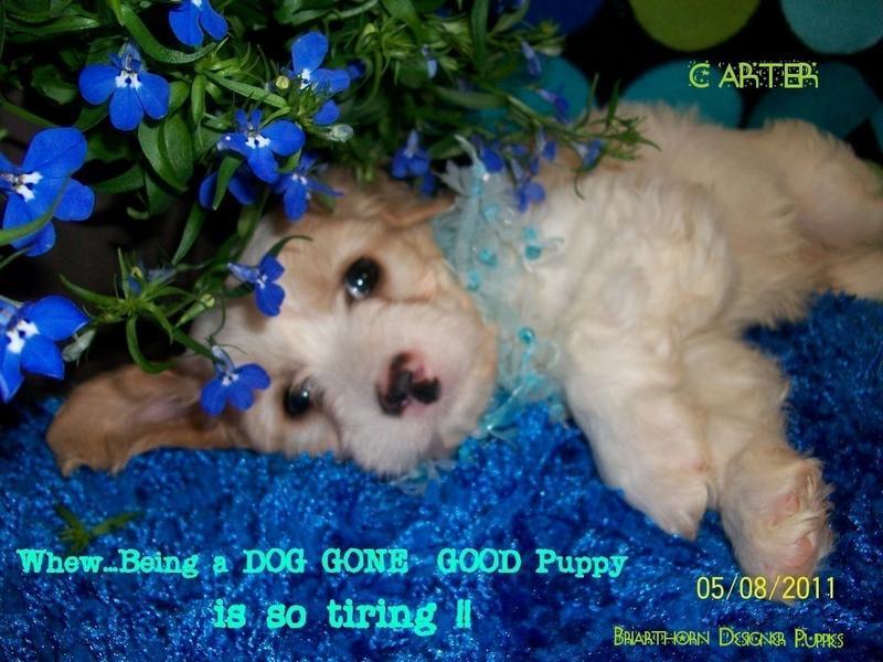 Briarthorn Cavachon Designer Puppies